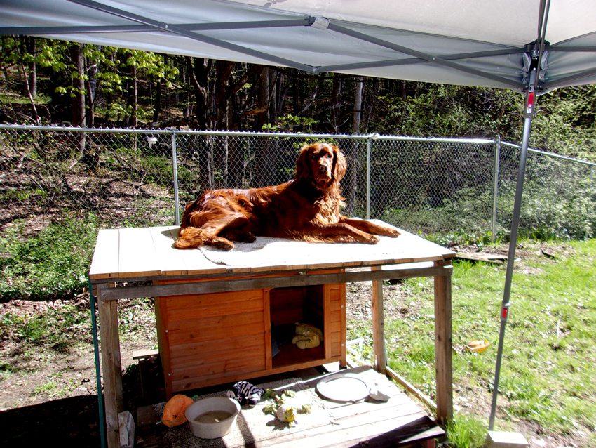 photo of Irish setter by Stockbridge